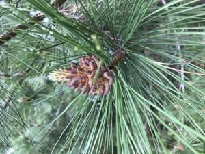 Male flower on a pine tree