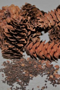 White spruce cone and seed